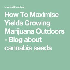 How To Maximise Yields Growing Marijuana Outdoors - Blog about cannabis seeds  http://thehempoilbenefits.com
