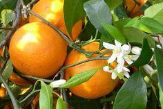Мандарины польза и вред Цвет маленького мандарина, мандарин, мандарины польза и вред, марокканские мандарины, клементины и мандарины разница, мандарины клементины, китайские мандарины, можно ли беременным мандарины, чем полезны мандарины