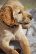 Puppy training tips: Toilet training, crate training, whining and biting.