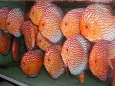 Discus Hans USA – World Class Discus Fish
