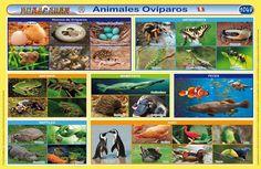 lamina de animales oviparos y viviparos - Buscar con Google Baseball Cards, Pictures, Dragon Ball, Google, David, Animals, Minecraft Birthday Party, Vertebrates, Amphibians