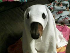 last year my doxie was a hot dog, but this ghost is a great idea if he wouldn't freak out!