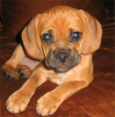 My other favorite.. love puggles!!