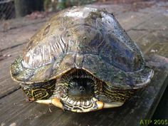 adult Texas Cooter turtle