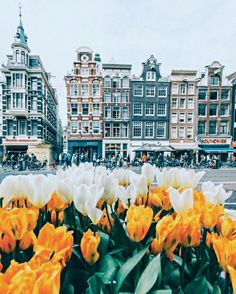 flowers, tulips, and amsterdam image