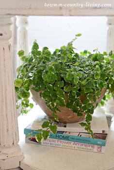 Ficus pumilla o Ficus trepador Indoor Garden, Garden Plants, Indoor Plants, House Plants, Ficus Pumila, Gardening For Beginners, Gardening Tips, Balcony Gardening, Vintage Bowls