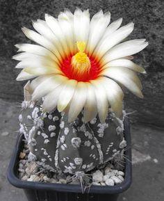 Astrophytum asterias cv. super kabuto hanazono
