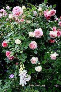 Eden climbing rose...