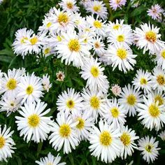 Aster dumosus 'Apollo' ( Asteraceae/Compositae )Ground Covering Blooming Period Plant in a sunny location Plant Spacing 1' Suitable for Zone 3 - Zone 8
