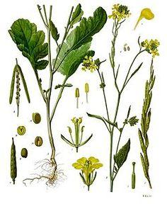 Mostaza - Brassica nigra