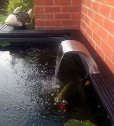 Thanks to Mr N for these great photos of the 20cm Arc in his fish pond