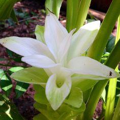 Flor da cúrcuma (ou açafrão-da-terra). #daminhahorta