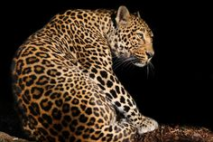 Panther , panthère by Oeildeprimate Photographe on 500px #leopard