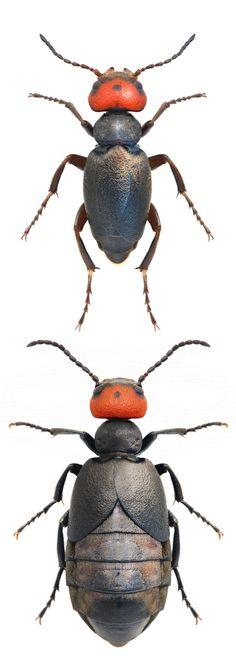Trichomeloe sericellus