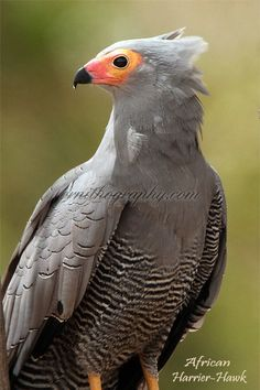 Birds of Prey - This is the African Harrier Hawk in Gambia, Africa.