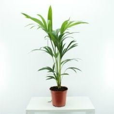 Exotic Kentia indoor palm - Enchanting in homes and offices - Perfect gift, present, for Christmas, Xmas, Birthdays - for him, her, mum, dad, parents, brother, sister, wife, husband, friend. (small) Best4garden http://www.amazon.co.uk/dp/B00UHZTI56/ref=cm_sw_r_pi_dp_tdVbvb1K1N7JR