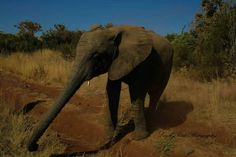 How long is my trunk? Kruger National Park, African Elephant, Lonely Planet, Elephants, North West, Travel Guide, South Africa, Planets, Wildlife