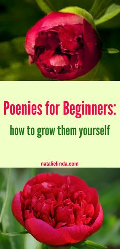 How to Plant and Care for Peonies - Natalie Linda - Growing Peonies - How to Plant & Care for Peony Flowers