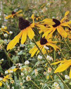 Rudbeckia in a wildflower garden Yellow Flowers, Wild Flowers, Cute Garden Ideas, Black Eyed Susan, Amazing Nature, Hygge, Woods, Plants, Wildflowers