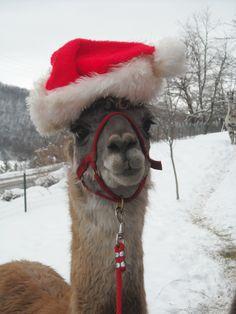 llama clause Cute Alpaca, Llama Alpaca, Animals And Pets, Funny Animals, Cute Animals, Christmas Animals, Christmas Cats, Alpacas, Llama Face