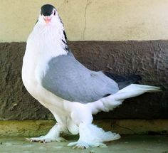The Lahore Pigeon, my favorite breed! Pigeon Pictures, Bird Pictures, Lahore Pigeon, Pigeon Loft Design, Pigeon Breeds, Homing Pigeons, Pigeon Bird, Guinea Fowl, Bird Feathers