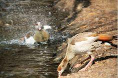 DUCK PHOTOBOMB Bird, Photography, Animals, Photograph, Animales, Animaux, Birds, Fotografie, Photoshoot