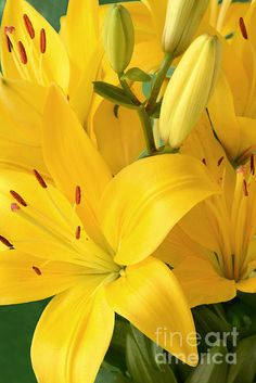 Yellow Lilies.  A bright cheerful close up portrait  of a cluster of yellow lilies.  .Click twice on the image to see samples of how it would look framed or on canvas and for purchase options.  Thank you for looking at my art.