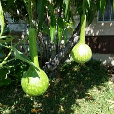 Some young #dippergourds hanging from the #peachtree in my front yard :) #horticulture #nature #summer #gardening