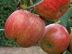 "The Uttwiler Spätlauber: ""superapple"". . . ""new fountain of youth""? (Vogue magazine, Nov. 2009) Rare Swiss apple stem cells are now being used in high end skincare products. Not just a case of looking younger ... your skin may actually BE younger. Norwex's Naturally Timeless Collection offers products utilizing this ingredient for a fraction of the cost of other reputable cosmetic brands. Check it out here: http://media.norwexcs.com/Flipbook/USA_2013_Catalog/#/36/"