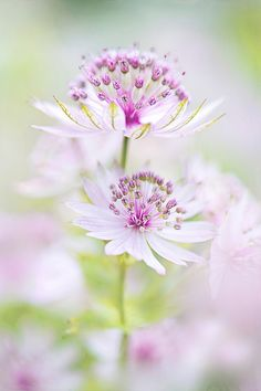 Softly Astrantia by Jacky Parker Floral Art Pastel Flowers, My Flower, White Flowers, Beautiful Flowers, Anemone Flower, Astrantia Flower, Colorful Roses, Dame Nature, Bouquet