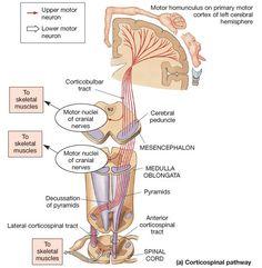 Motor Cortex, Motor Neuron, Brain Anatomy And Function, Nervous System Anatomy, Neurological System, Human Body Anatomy, Medical Anatomy, Cranial Nerves, Nursing Notes