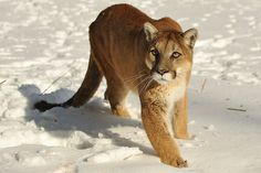 Mountain Lion | Animals Pictures