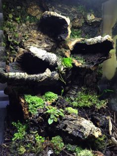 Your Source for Dart Frog and Vivarium information. Les Reptiles, Cute Reptiles, Amphibians, Tarantula Enclosure, Reptile Enclosure, Reptile Habitat, Reptile Cage, Terrarium Reptile, Terrarium Ideas