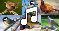 Ontdek de vogels van Nederland met behulp van vogelgeluiden en afbeeldingen - allemaal gratis. De website werkt ook op je iPad of mobiele telefoon.