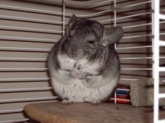 Chinchillas are best kept indoors in rabbit hutches or cages, and the bigger the home you can provide for them the better. URL: http://chinchilla.co/  Fb fan page: https://www.facebook.com/chinchilla.co