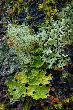 Five species of lichens grow together, Cinco especies de líquenes creciendo juntas