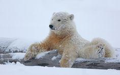 Polar bear laying on fallen tree branch in white snow