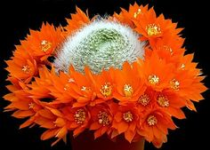 Pin it :-) Follow us :-)) zGardensupply.com is your Garden Supply Gallery ;) CLICK IMAGE TWICE for Pricing and Info :) SEE A LARGER SELECTION of cacti nd succulents http://zgardensupply.com/category/garden-supply-categories/seeds-bulbs-plants/cacti/ - garden, cacti,plants, succulents -  Crown Cactus Mix 25 Seeds – Rebutia – Showy Flowers « zGardenSupply
