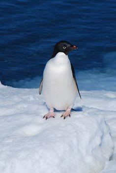 """Adélie Penguin on ice"" by Owen Daniel, via 500px."