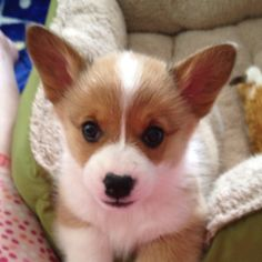 Can I please have one?? Or three? Welsh Corgi puppy
