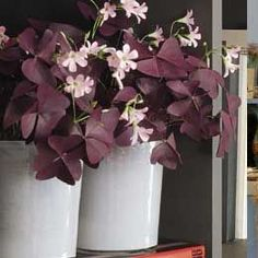 Oxalis triangularis( Purple SHAMROCK) Deep Purple foliage, white flowers edged in pink. use in containers as well as perennial ground covers. Love Flowers, White Flowers, Garden Plants, House Plants, Shamrock Plant, Oxalis Triangularis, Purple Shamrock, Perennial Ground Cover, Purple Cross