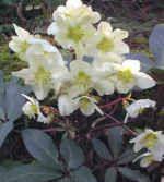 Helleborus x ericsmithii  'Emma'