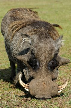 Warthog, moments before he charged me. - Warthog, moments before he charged me. Warthog, moments before he charged me. Unusual Animals, Rare Animals, Animals Beautiful, Funny Animals, Strange Animals, Animal Kingdom, All Gods Creatures, African Animals, Animals Of The World