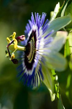 Purple Passion Flower by Georgianna Lane