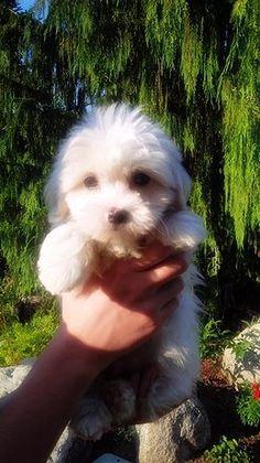 Zuchon (Teddy Bear) Puppy Teddy Bear/ Zuchon Puppies