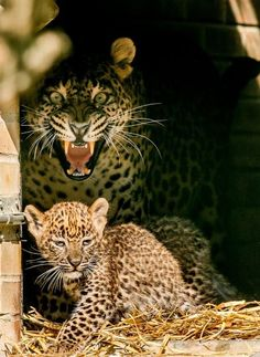 A Sri Lankan leopard named Y alla apparently doesn't like having her cub photographed at the zoo in Maubeuge, France