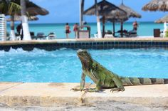 Aruba, yes these little, or not so little scaley friends are lying about, just watching and hanging out.