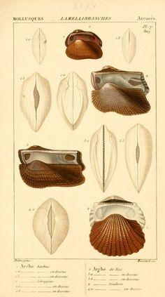Malacozoaires, ou, Animaux mollusques. - Biodiversity Heritage Library