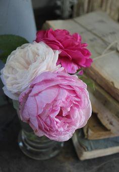 Madame Ernest Calvat…Madame Issac Perrier…Souvenir de Malmaison…