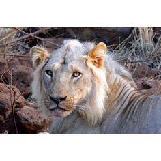 Face of feeding lion Meru Kenya Canvas Art - Kymri Wilt DanitaDelimont (17 x 11)